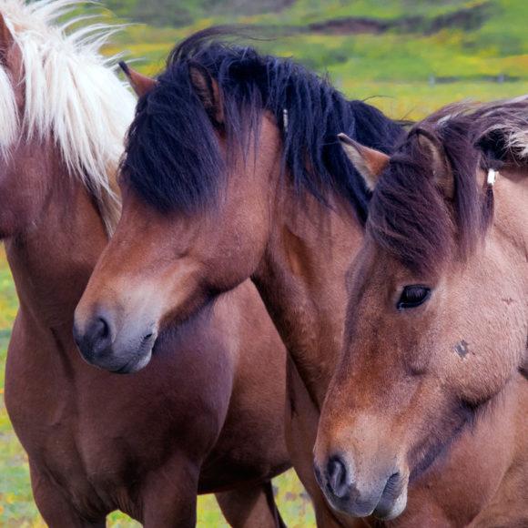 Curiosità sui cavalli islandesi