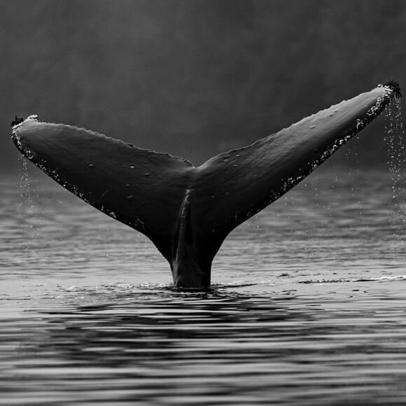 Le balene in Islanda: quali e dove?