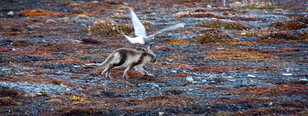Una Sterna difende il nido da una volpe artica