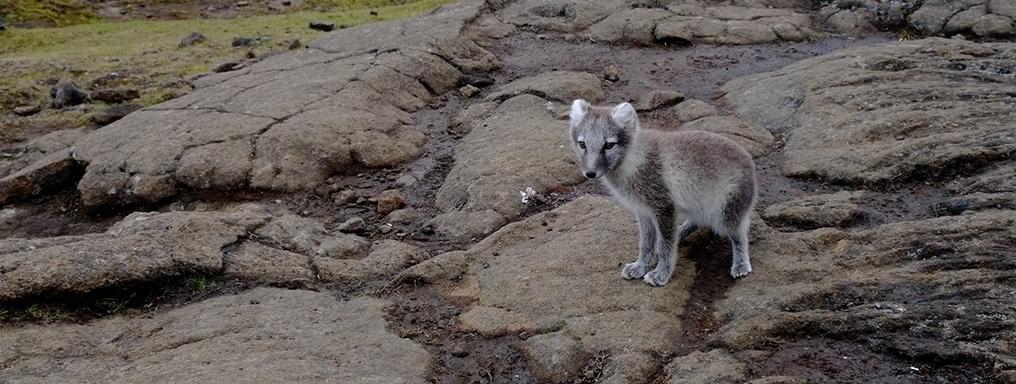Una volpe artica staziona su delle pietre laviche